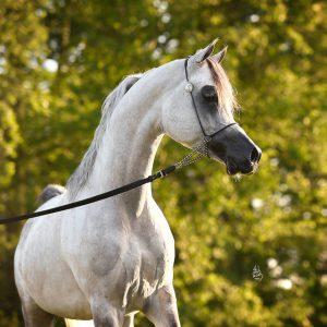 Shakar Pegasus